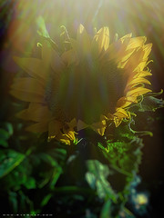 sunflower_2314 (EYEsnap_Photography) Tags: flower sunflower garden livermore nature scenic iphone