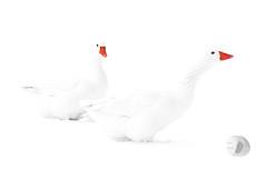White (Vivid_dreams) Tags: nature natureportrait winter white softwhite red wildlife wildlifeportraits snow geese whitegeese artistic artisticmanipulation digitalmanipulation detail digitalphotography bw blackandwhite birds blackwhite