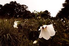 summer stretches on (tom bourdot) Tags: capemay depthoffield dusk gimp landscape light mallow marsh marshmallow nature nikkor nikond3300 nj outside plant summer wetlands august hibiscus