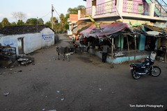 D72_9416 (Tom Ballard Photography) Tags: 20160314 indiaadventure part4 flowers cows pigs poop peeing people trash taxi food