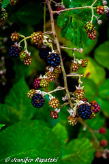 bright BlackBerry - Thank you for about 300 Followers (Bernsteindrache7) Tags: summer sony alpha 100 spring landscape outdoor green fauna fruit blue red