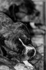 Obsessing mirror (Gabriel Cardoso Foto) Tags: cachorros dogs naomie stephanie