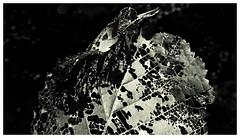 P1070371er (www.polahphotography.com) Tags: abstract leaf old imperfect nature lightanddark leonie polah leoniepolah
