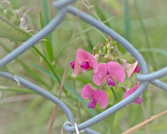 Wild and Free (L E Dye) Tags: fencefriday frostfence bc canada d5100 flowers ledye nikon weeds