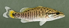 Smallmouth Bass (Micropterus dolomieu), Burnett County, Wisconsin