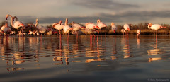 Reflets du Soir......... (Malain17) Tags: flamantrose camargue waterscape reflets colors provence french image photography photographers pentax perspective sky clouds calme animaux soleilcouchant paysage nature
