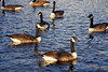 Northern England #0094 Widnes 140911 Geese (Steveox55) Tags: canal geese merseyside widnes spikeisland