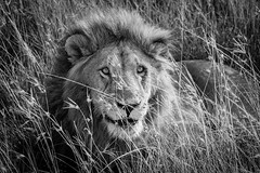 Leon / Lion (rrmontero) Tags: leon lion masaimara sabana africa kenya kenia animal blancoynegro bn bw