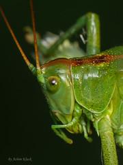Grnes Heupferd (Tettigonia viridissima) - Weibchen (AchimOWL) Tags: macro nature insect deutschland tiere natur makro insekt tier heupferd gx7