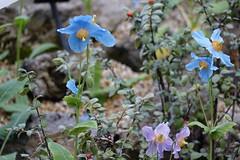 (ddsnet) Tags: travel plant flower japan sony cybershot  nippon   nihon  backpackers     himalayanbluepoppy rx10 osakafu      flowerinjapan     meconopsiswallichii