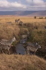 Plains Zebras (sr667) Tags: africa water canon tanzania sigma animalia mammalia tz equus karatu equidae plainszebra chordata burchellszebra perissodactyla commonzebra equusburchellii equusquagga hippotigris 18250mm 18250mmf3563dcos mungeriverkaratutanzania