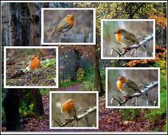 Robin Collage (eric robb niven) Tags: winter robin scotland rivertay dundee ngc perthshire dunkeld wildbird ericrobbniven pentaxk50