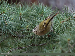Goldcrest (Regulus regulus) (gilgit2) Tags: pakistan birds animal fauna canon geotagged wings wildlife feathers sigma tags location species category avifauna gilgit gilgitbaltistan sigma150500mmf563apodgoshsm imranshah canoneos70d jutial goldcrestregulusregulus gilgit2