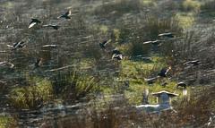 Light catchers (jump for joy2010) Tags: uk birds animals lowlight sheep farming silk somerset sparkle gossamer livestock winterlight starlings 2014 spiderswebs somersetlevels tealhammoor