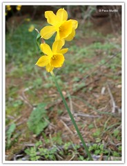 Narcissus (?) fernandesii (Paco Murillo) Tags: flor narciso nardo