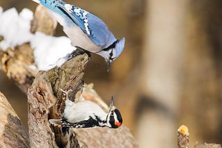 Blue Jay ~ VS ~  Hairy