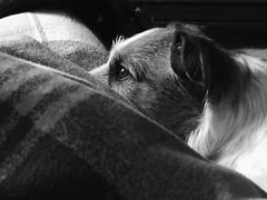 (Vallelitoral) Tags: blackandwhite bw dog blancoynegro look jack flickr bn perro jackrussell sammy mirada mascota jackrussellterrier iphone flickraward iphonegraphy