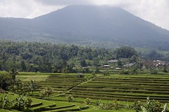 Jatiluwih rice terrace 4 (bob.ukiah) Tags: trees bali food mountain green nature field grass canon indonesia landscape rice paddy terrace farming palm unesco crop growing agriculture pulse irrigation staple ubud jatiluwih eosm subak