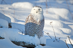 Snowy Owl (Eric Gendron Photography) Tags: