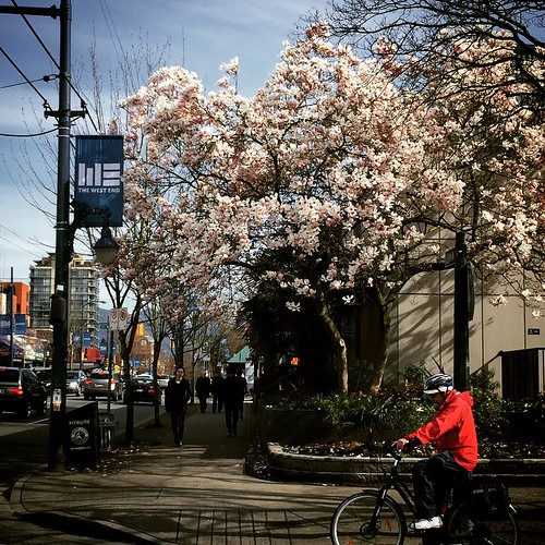 Cherry blossoms add early spring colour to West End #Vancouver #yvr #bc