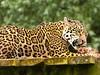 Jaguar (buddah1888) Tags: england beautiful canon eos feeding jaguar wildcat atrest southlakeswildlifepark 400d mykindofpicturegallery canondslrusers screamofthephotographer buddah1888