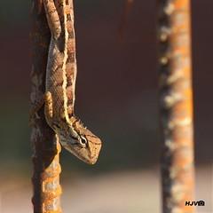 Oriental Garden Lizard (harshithjv) Tags: fauna canon bangalore tamron 600d bengaluru canon600d
