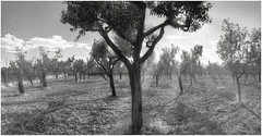 MallorcaMandelbaumePanorama8BW (alexander.heise) Tags: bw panorama inca mallorca hdr baleares binissalem mandelbume