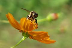 Abeille ... (sosivov) Tags: flowers orange flower macro burma bee myanmar loikaw