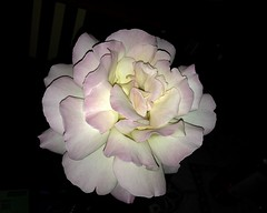 A rose, by any other name... ([S u m m i t] s c a p e) Tags: flowers rose bluemountains