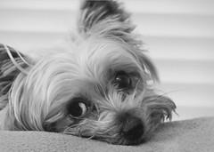 I'm sorry (karen.hawes789) Tags: blackandwhite dog macro cute animal closeup fur sad yorkshire terrier