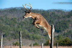 Young Whitetail Buck Fence Jump (www.matthansenphotography.com) Tags: male nature animal fence mammal outdoors jump action wildlife hunting antlers editorial buck leap whitetaileddeer whitetaildeer whitetailbuck whitetailedbuck matthansen northamericanbiggame matthansenphotography