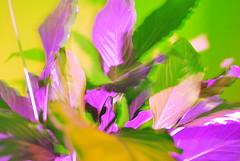 (C.LeMessurier) Tags: colorsplashflash peacelily