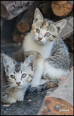 """Kittens • <a style=""""font-size:0.8em;"""" href=""""https://www.flickr.com/photos/53502454@N07/16513019566/"""" target=""""_blank"""">View on Flickr</a>"""
