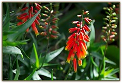 Fioritura di aloe (Schano) Tags: mediterraneo sony natura fiori 55 210 piantegrasse giardinoroccioso fioridialoe emount sel55210 sony55210 ilce3000 sonyilce3000 sony3000 210sony sonyemount55200