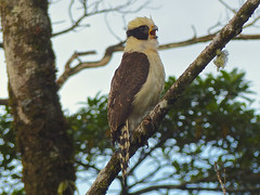 Laughing Falcon (Herpetotheres cachinnans) (WRFred) Tags: bird nature costarica wildlife falcon birdofprey centralamerica laughingfalcon herpetotherescachinnans
