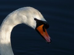 Swan in the sun...EXPLORE # 20.02.2015 (libra1054) Tags: white blanco swan uccelli explore waterfowl schwan weiss blanc cygne cisne waterbirds cigno acquatici avesacuaticas oiseauaquatique