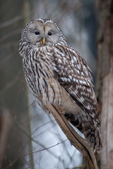 oeraluil (Strix uralensis) Ural Owl (fire111) Tags: march nikon forrest wildlife owl f28 400mm 2015 uralowl strixuralensis oeraluil