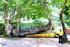 DSC_0154 (monicasana) Tags: school david bus tree yellow african hurricane crush baobab dominica
