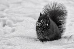 snowy squirrel (martinaschneider) Tags: winter blackandwhite snow squirrel