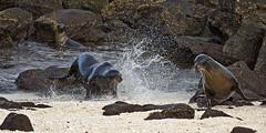Galapagos20140714084837-4 (Swaranjeet) Tags: 35mm canon eos is fullframe dslr 70200 f28 ef 2014 sjs 1dx swaran sjsphotography canonef70200f28lisiiusm canoneos1dx eos1dx swaranjeet swaranjeetsingh swaranjeetphotography sjsvision
