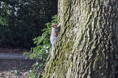 Squirrel (1) (CLBuggins Photography) Tags: park uk tree green texture nature leaves animal mammal nikon squirrel dof wildlife hol