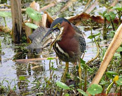 """Now What Do I Do With It"" (ghelm4747) Tags: blue usa fish bird heron nature water birds animal canon outside us florida wildlife feathers trail eat swamp marsh swallow tilapia caught flew centralflorida polkcounty greenheron circlebbarreserve heronhideout sx60hs ghelm4747 garyhelm"
