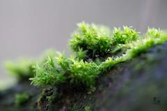 Mos (Jaap Pol) Tags: macro nature forest mos moss tamron tamron90mm focusstack tamron90mmmacro slta58 dslta58