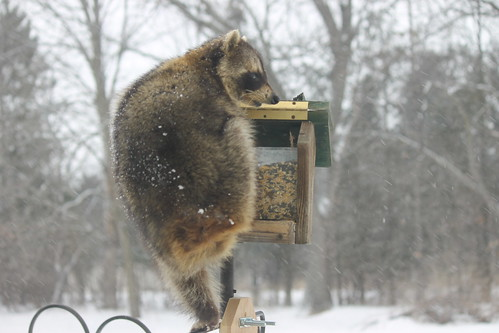 Raccoon on a Snowy Winter's Day in Saline, Michigan - March 1, 2015