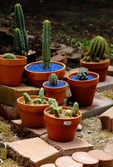 Cactus Garden Coming Together (jpmatth) Tags: digital color canon eos 5d mk2 lenstagged ef135m28softfocus home garden plant cactus trichocereus pachanoi peruvianus grandiflorus bridgesii monstrose thelegonus cristata mingthing 2016