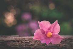 Dipladenia (RoCafe) Tags: macro flower dipladenia garden nature pink soft light bokeh nikkormicro105f28 nikond600