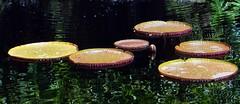 VICTORIA LILY  #6 (3Point141) Tags: usa florida coralgables lilypond nymphaeaceae victoriaamazonica fairchildtropicalbotanicgarden victoriacruziana victorialily 3point141