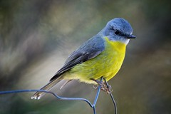 Eastern yellow robin (Axon Imagery) Tags: eopsaltriaaustralis easternyellowrobin robin nikond700 tamron150600mm bawleypoint newsouthwales