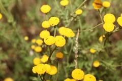 Tanacetum audibertii (Pietro Niolu) Tags: asteraceae tanacetum tanacetumaudibertii gennargentu fonni sardegna