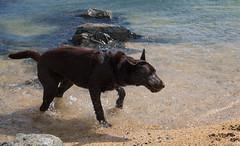 (Rob Hurson) Tags: ireland skerries dublin codublin seaside coast summer leinster pentaxk30 pentax beach rocks sand chocolatelabrador labrador puppy holly dog pentaxda1650mmf28